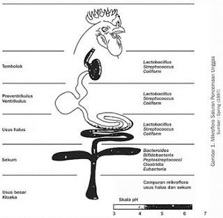 Bakteri mikroflora usus pada pencernaan ayam