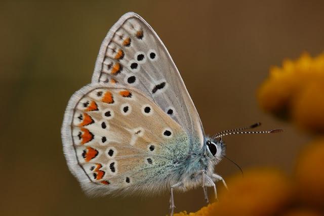 Tierfotos - Schmetterlinge - Hauhechelbläuling