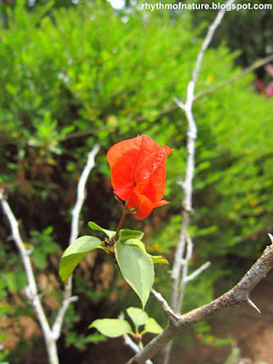 Red - Orange Bougainvillea