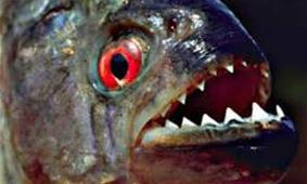 Resultado de imagem para boi de piranha