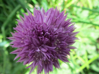 One Chive Flower Purple