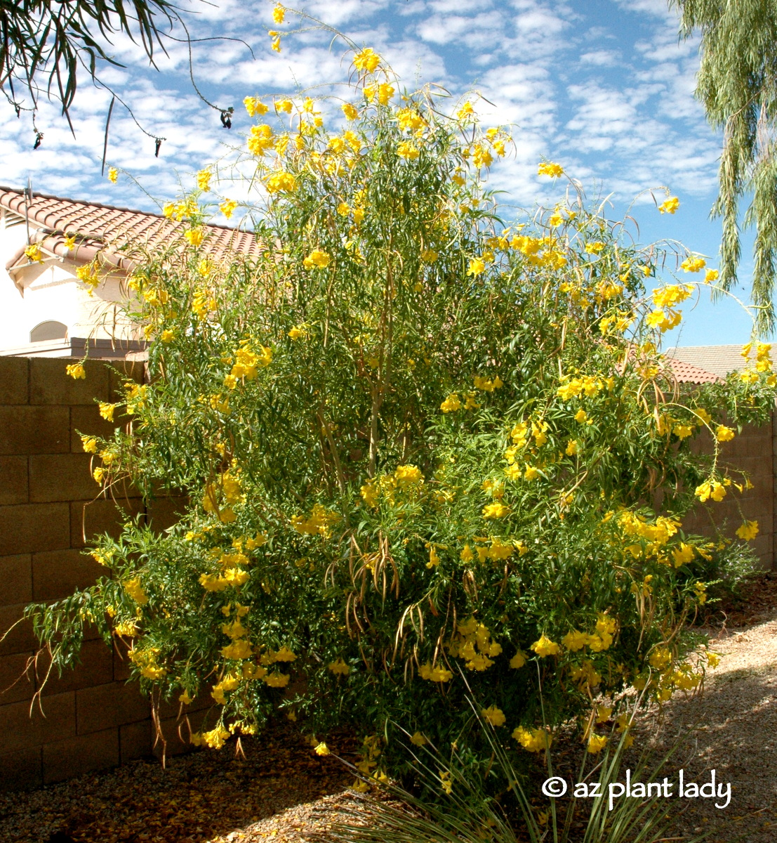 Drought tolerant yellow bells for warm season color tecoma stans angustata is native to the southwestern us and northern mexico and goes by the names arizona yellow bells yellow bells and yellow trumpet mightylinksfo