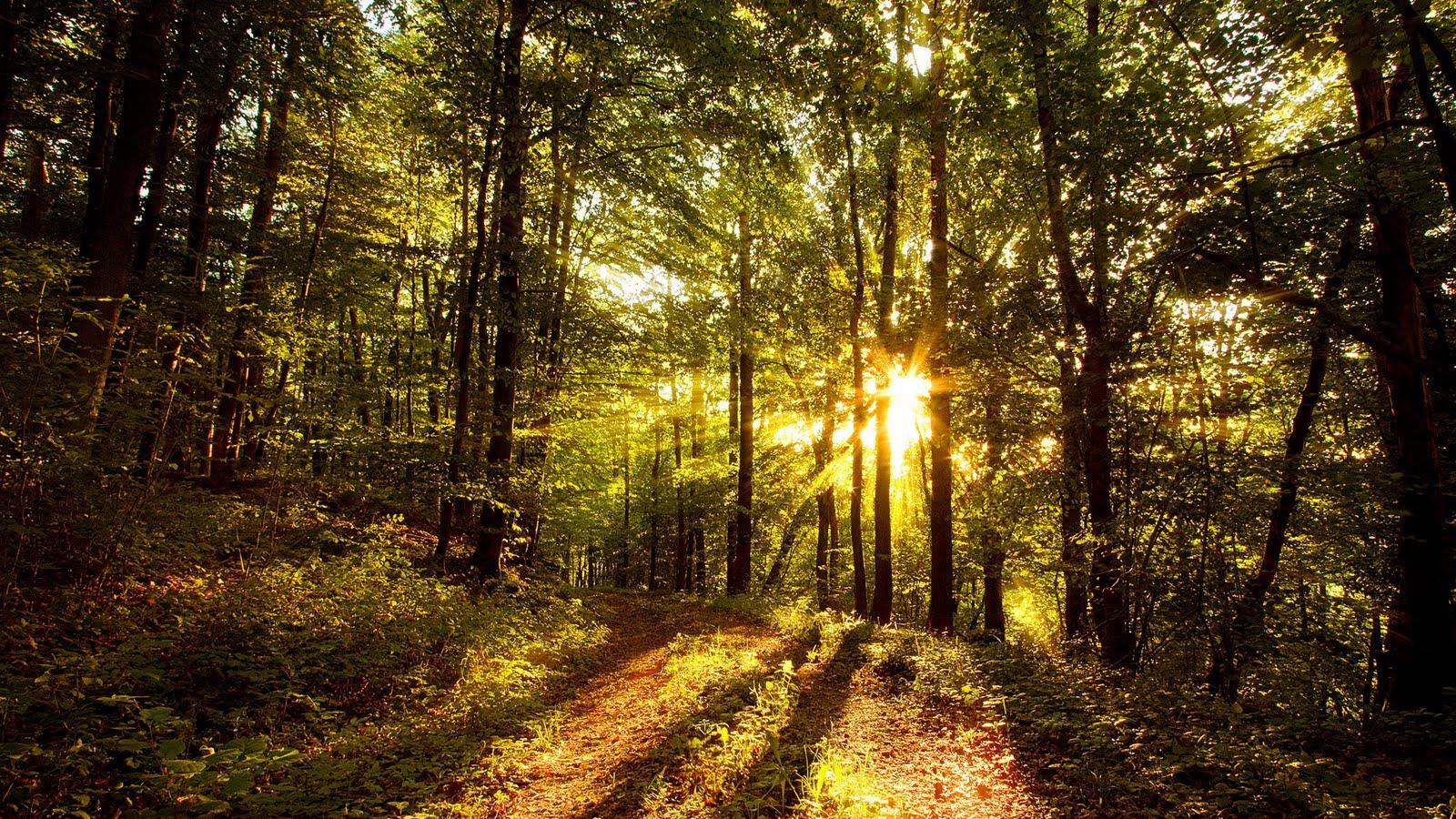 Imagem de fundo floresta com sol entre as árvores