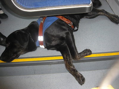 Picture of Rudy in a down/stay sleeping in harness/coat while we ride the light rail