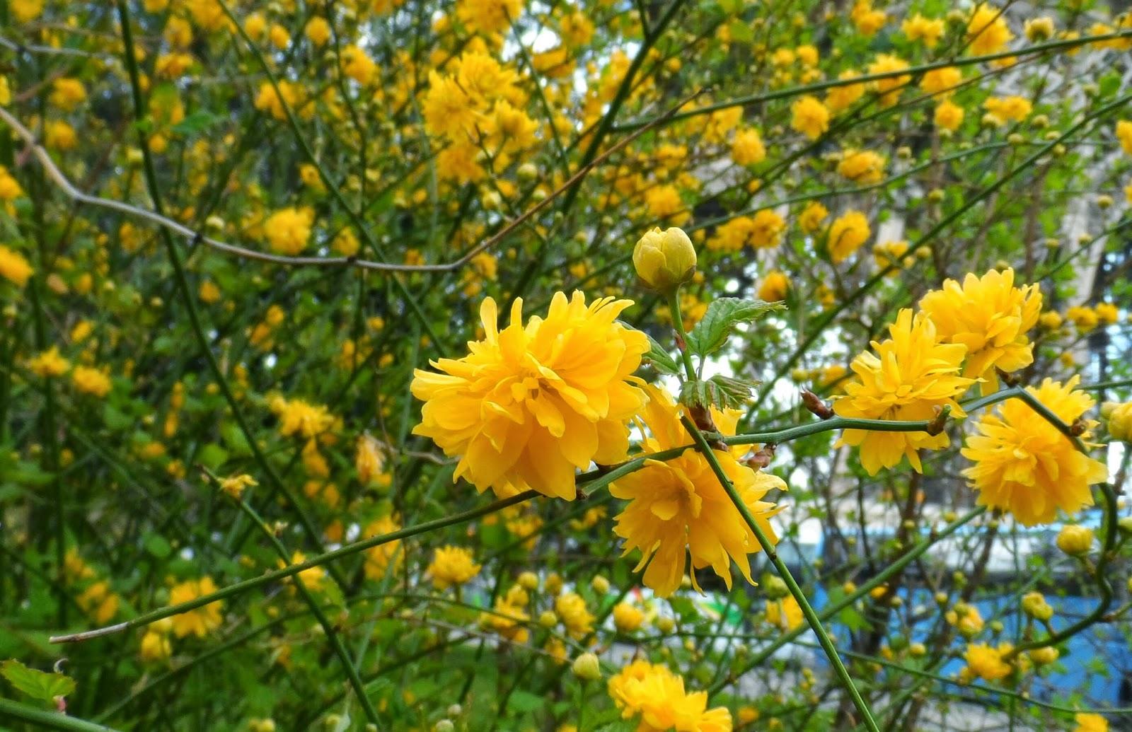 <<<Poemas de colores...>>> Flores%2Bamarillas