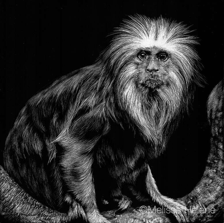 04-Tamarin-Melissa-Helene-Amazing-Expressions-in-Scratchboard-Animal-Portraits-www-designstack-co