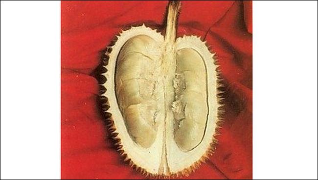 Durian Bokor (Majalengka, Jawa Barat) - www.jurukunci.net