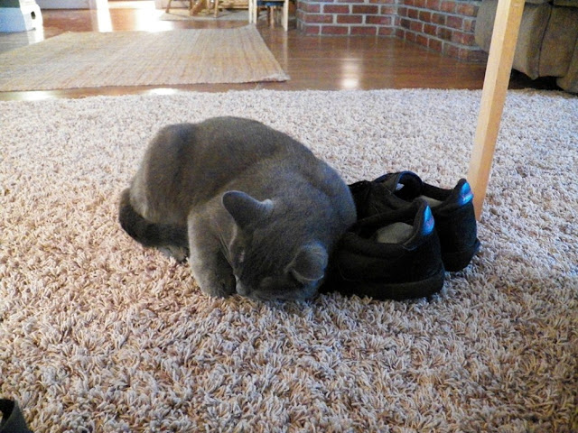 funny cats, cute cat pictures, cat sleeps on shoes
