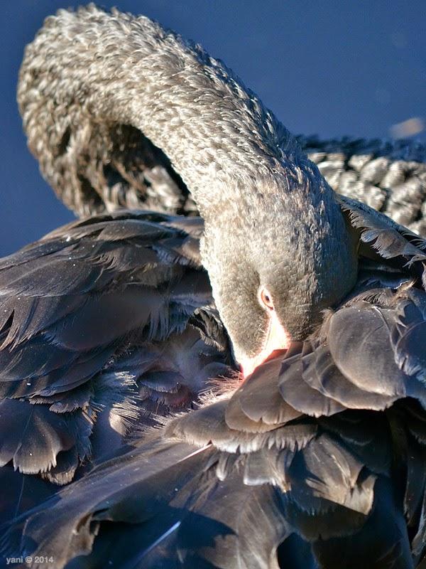 black swan shine