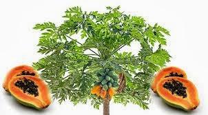 BIM100 APCO BLUESKY ประโยชน์ของมะละกอ