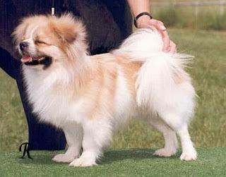 Giống Chó Tibetan Spaniel