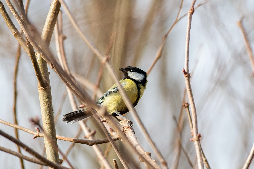 Great Tit - Manor Farm, Milton Keynes