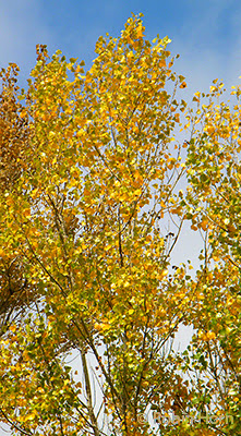 Yellow Aspens Blowing in Wind