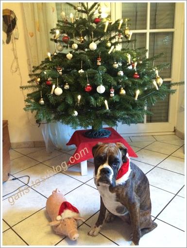 Boxer Amy wartet aufs Christkind