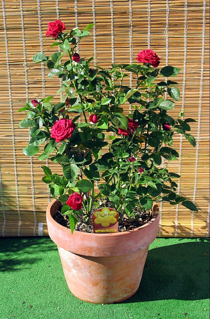 C mo cultivar rosas trepadoras en macetas conoce m s de - Plantar en maceta ...