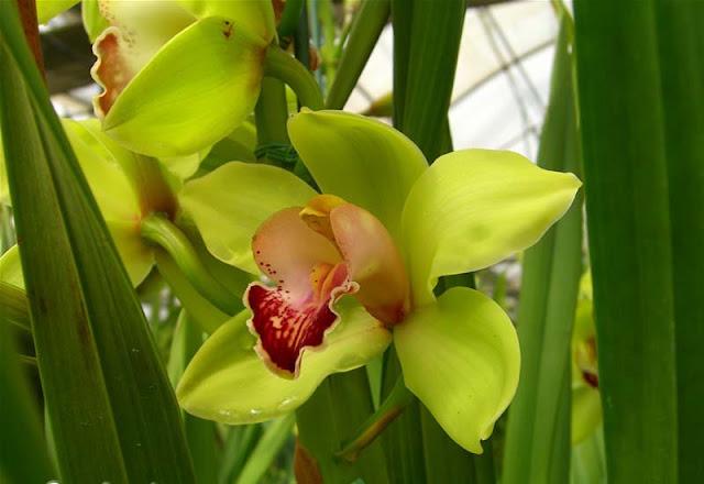 Cymbidium Flowers Pictures