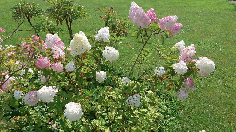 Можно ли гортензию сажать рядом с розами 24