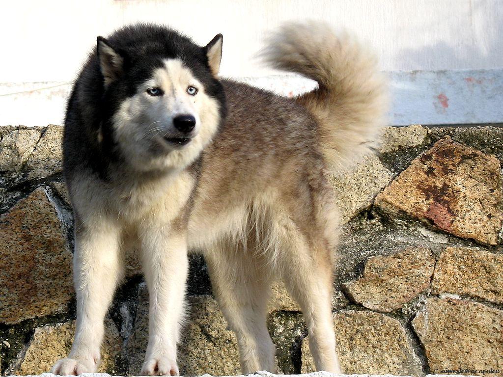 Husky Chow Dog For Sale