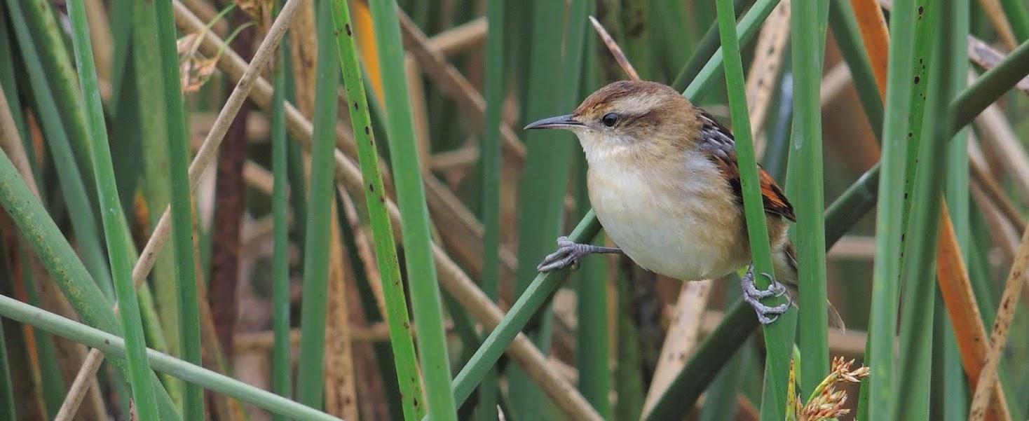 Aves de Salinas Uruguay