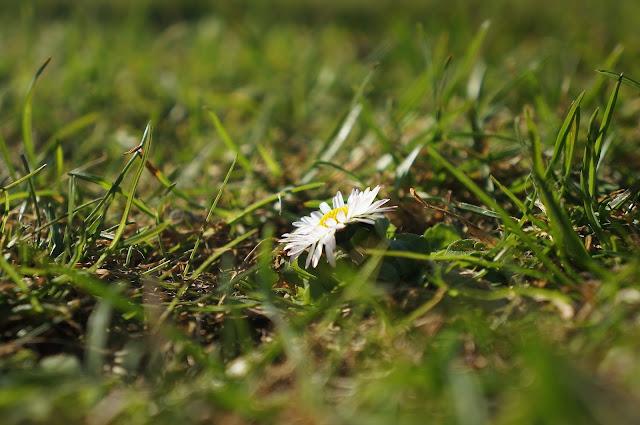 Stokrotka, wiosna, ogród