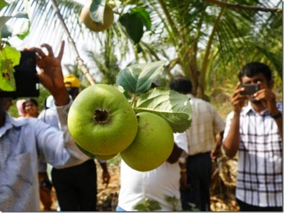 Grow Apple fruit trees in Karnataka