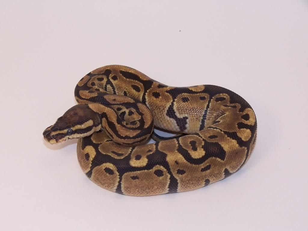 Reptiles and Amphibians: Pitón bola (Python regius)