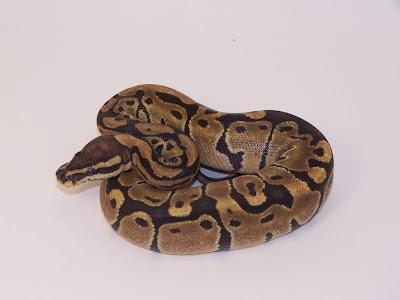 Pitón bola Python regius