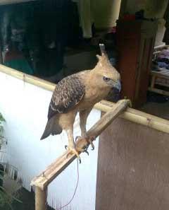 Foto Burung Elang Jawa
