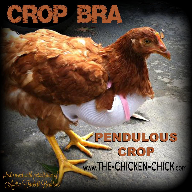 Pendulous Crop In Backyard Chickens The Chicken Chick 174