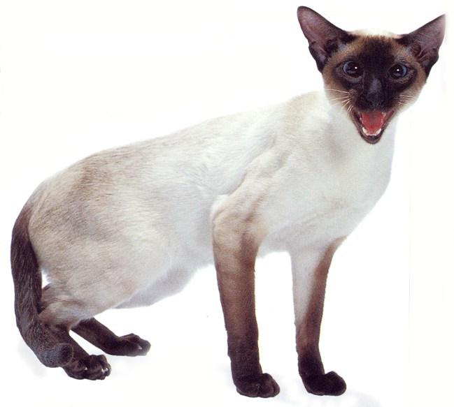 Siamese Cat Meowing Kitten