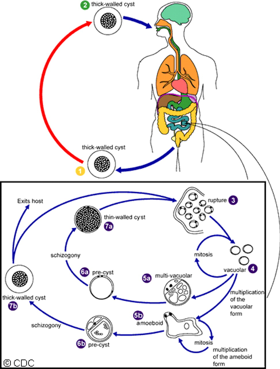 Blastocystis parasite blog life cycle proposed life cycle of blastocystis pooptronica Image collections