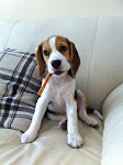Pepper de Beagle