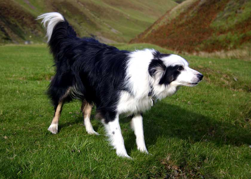 how to build an agility track for boarder collies