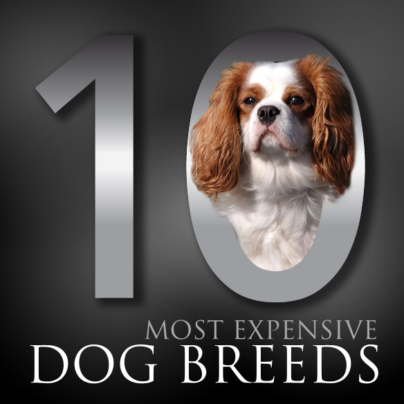 The 10 Most Expensive Dog Breeds | Haus Of Paws