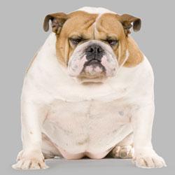 perros gordos