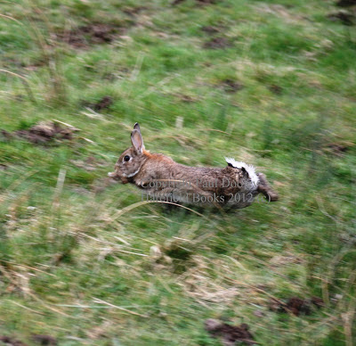 Run, rabbit, run
