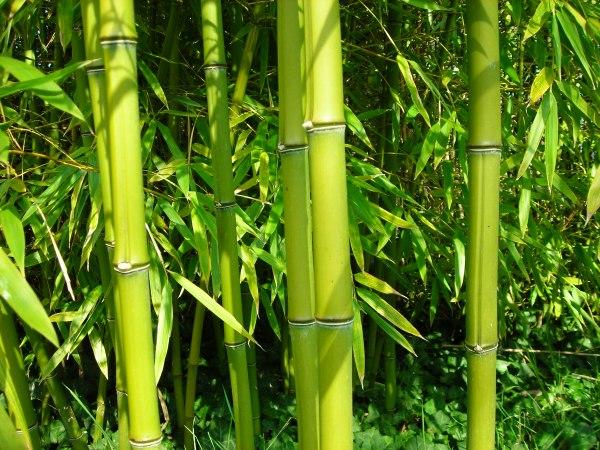 Hong kong hebdo hkh n 5 souple et solide la fois - Tout sur le bambou ...