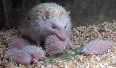 Paul Hamster Hedgehog And Persian Cat Blogspot Menjajal