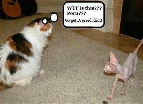 kucing bogel