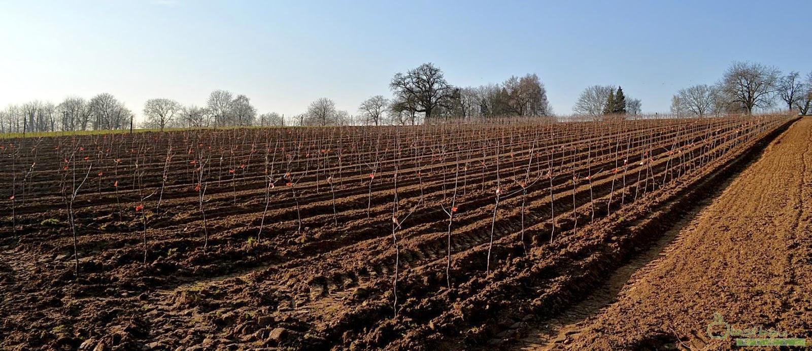 frisch gepflanzte Apfelanlage
