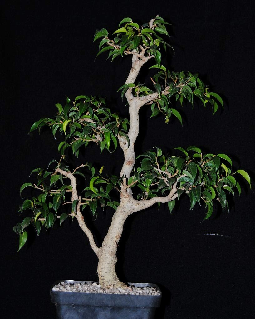 ficus benjamina var wiandi cinderella of the species. Black Bedroom Furniture Sets. Home Design Ideas