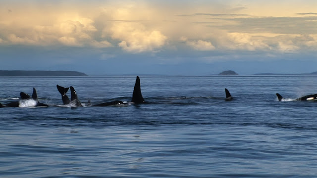 Blackfish Killer Whales doing natural things in nature