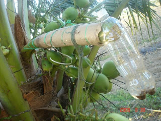 Legenda Pohon Enau Penghasil Tuak