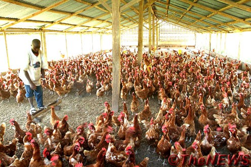 Poultry Farming For Nigerians Anambra Indigenous Youth