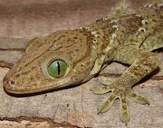 Tokay (Gekko Gecko)