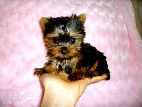 Cute Puppy Dogs: Teacup Yorkshire Terrier Puppies