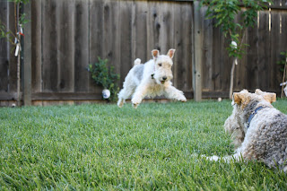 Wire Fox Terriers at The Tipsy Terrier blog
