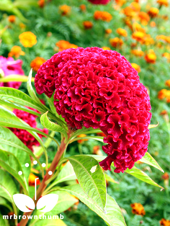 Cockscomb flower, Celosia cristata