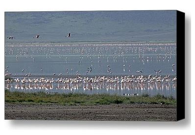 Buy Canvas Prints of Flamingo