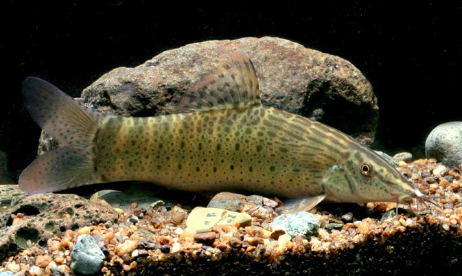 Do your homework better and faster for Loach fish types